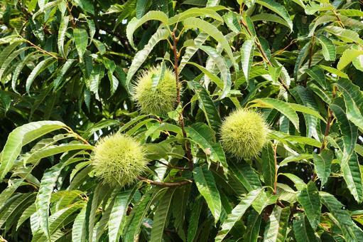 밤나무되어 열매