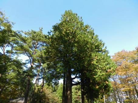 삼나무 숲과 푸른 하늘