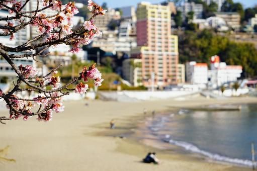 Atami cherry blossoms in full bloom and the sea of Atami Sun Beach