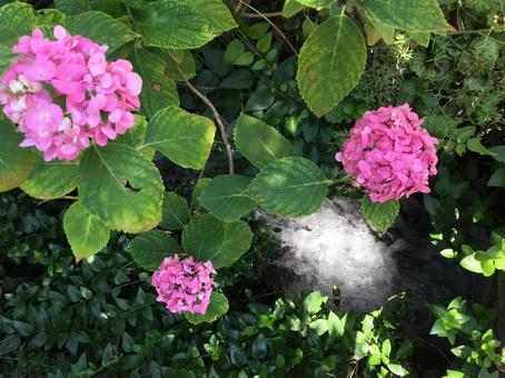 Hydrangea and clear stream