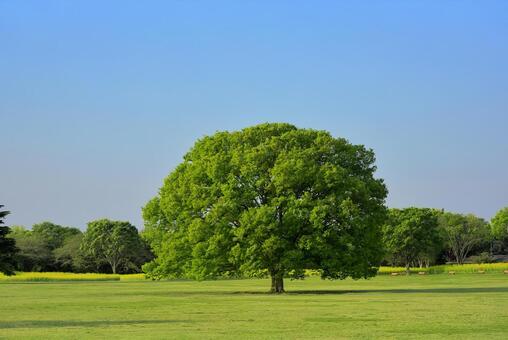 Large zelkova trees in the National Showa Memorial Park
