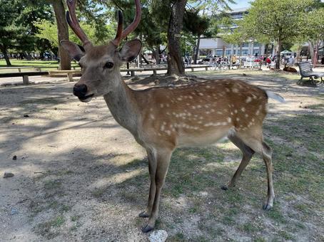 Fawn in Nara Park