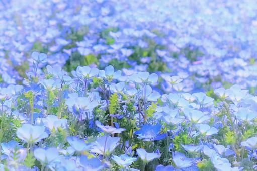 開花的nemophila花藍色地毯