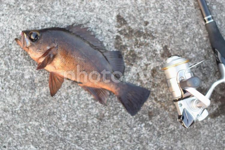 メバルと釣り竿の写真