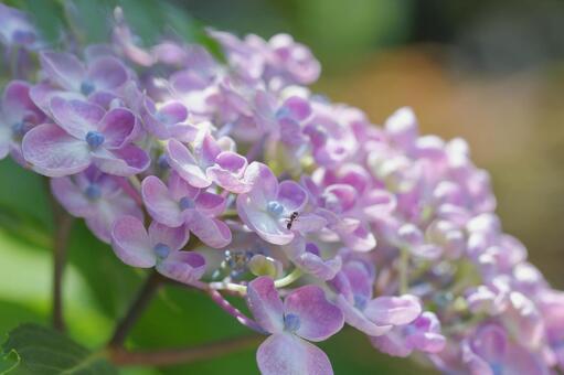 繡球花和螞蟻爬上鮮花