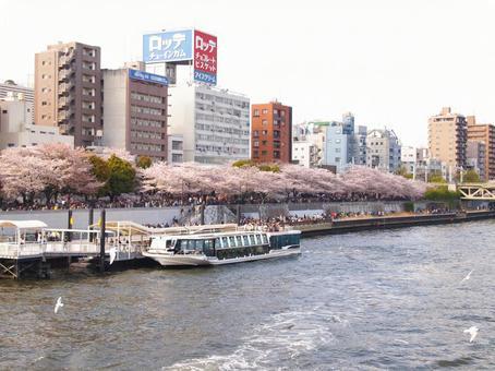 Asakusa, Sumida River and cherry blossoms