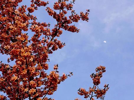 櫻花和月亮