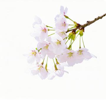 Sakura _ clipping _ 2