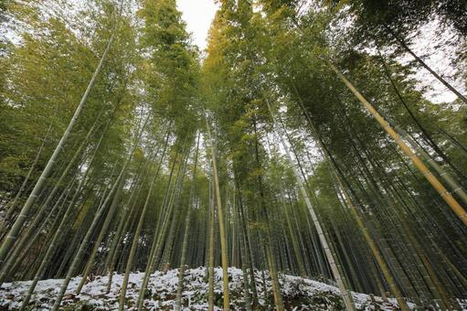 Winter bamboo grove
