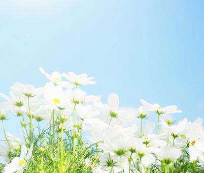 Blue sky white flowers