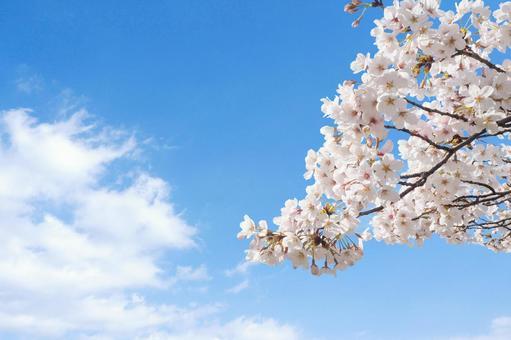 벚꽃과 깔끔한 푸른 하늘