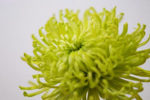 """Chrysanthemum """"Anastacia"""""""