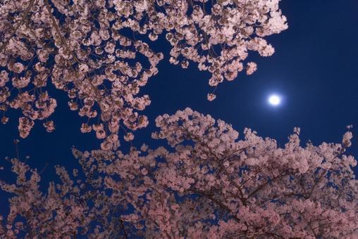벚꽃과 달