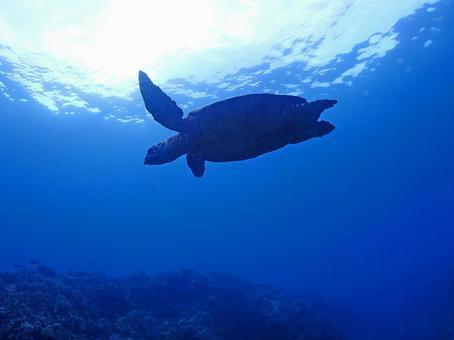 Sea turtles swimming leisurely in the sea between Okinawa and Kerama