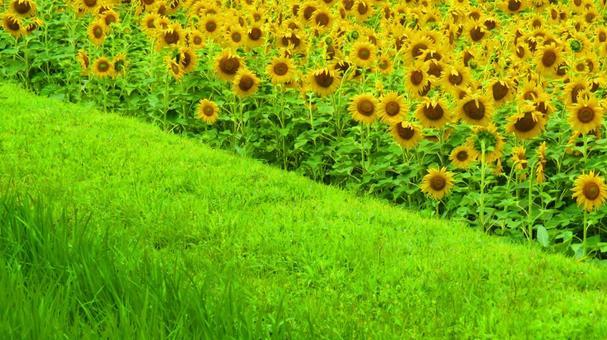 Sunflower field of Konan Town Sunflower Project in mid-June