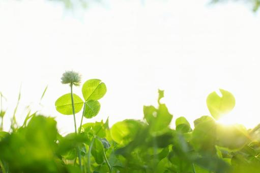 White clover and clover