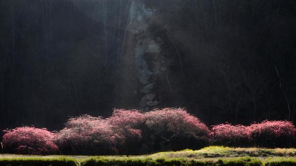 빛받는 花桃