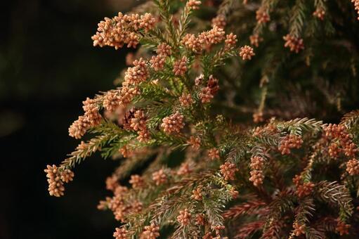 Cedar pollen