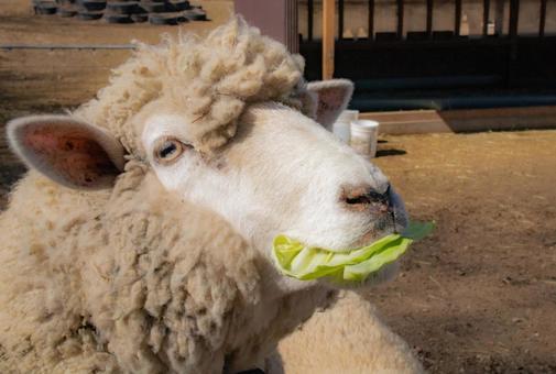 Chew cabbage