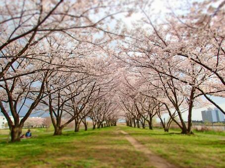Sakura (Muko river 1)