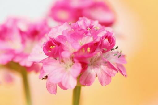 알 메리아 봄 4 월 핑크 꽃 카야 꽃 축제 원예 화단