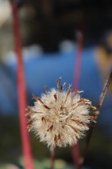 親水公園の水辺のタンポポの綿毛