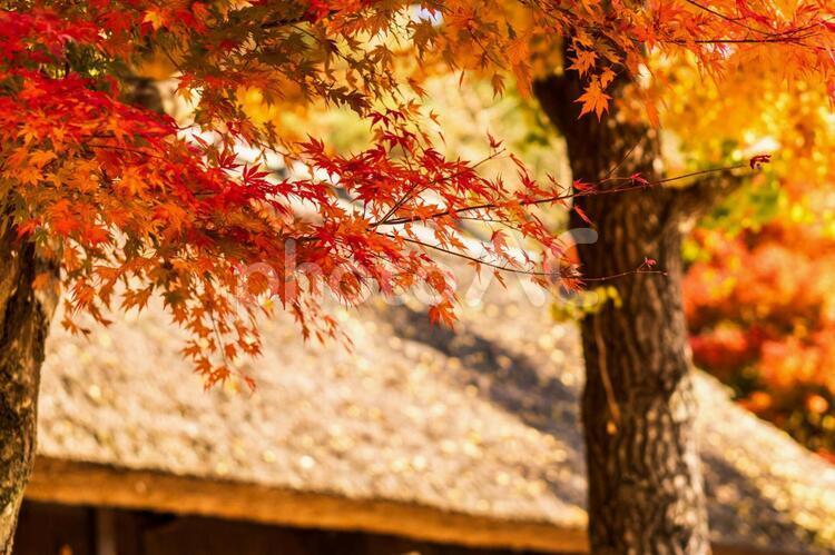 西湖の紅葉の写真