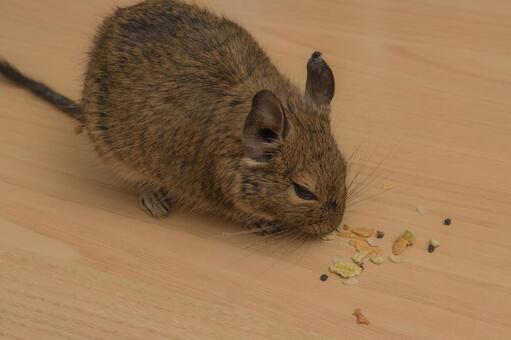 [애완 동물] 간식을 먹을 데구 【데구】