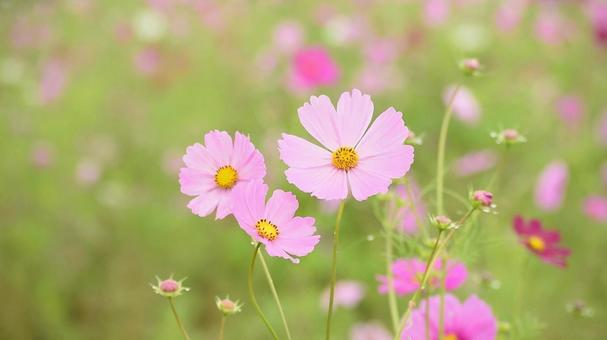 Cosmos field, pink autumn cherry blossoms