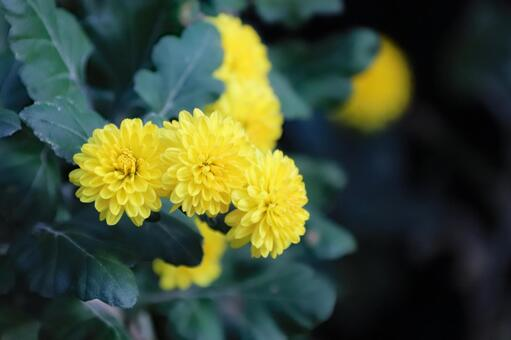 노란 국화 2