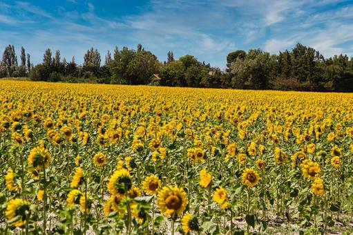 A vast sunflower field near Arles, southern France