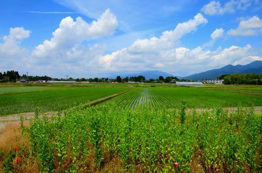 Niigata rice field