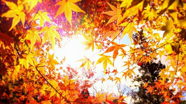 Autumn background maple with glittering autumn leaves