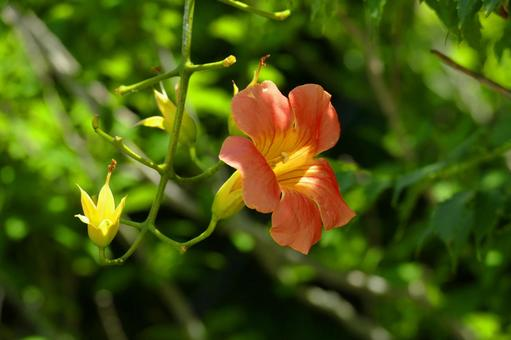 Chinese trumpet vine that always blooms during the Obon festival 03