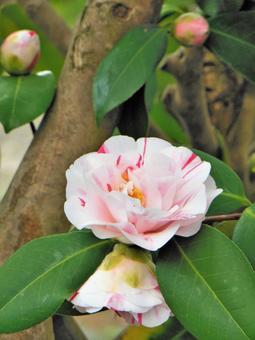 봄 꽃 조리개 동백 백반