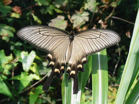 다카오 사향 제비 나비 (암컷)