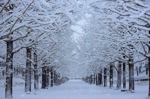 Ginkgo bunkes _ Winter