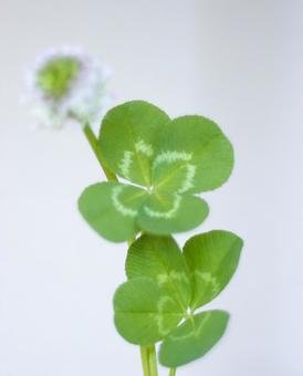 Clover of the four leaves
