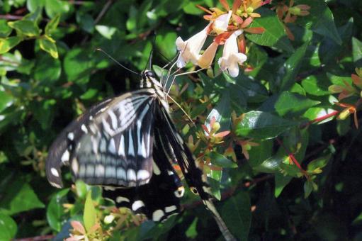 吸蜜하는 호랑 나비