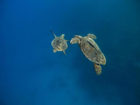 Paired sea turtles