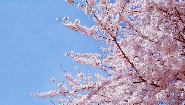 Sakura in full bloom 0108