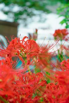 Hisharasaka flowering in the walk course 03