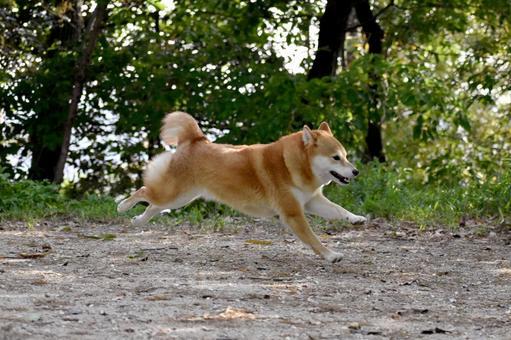 Shiba Inu, Running, Flying Dog