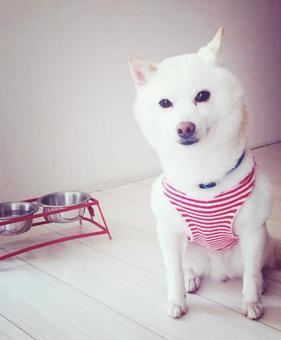 흰 개 1 (밥 쵸다이)
