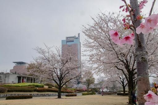 吉野櫻花,大櫻櫻和縣廳