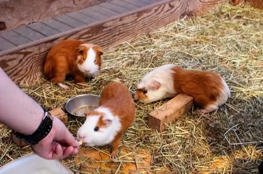 기니피그 모두 점심 식사