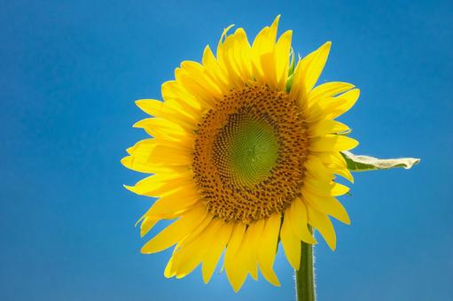 A close-up of the blue sky and sunflower flowers, a symbol of hot summer