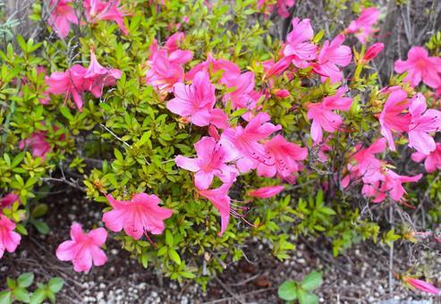 Blooming azalea flowers