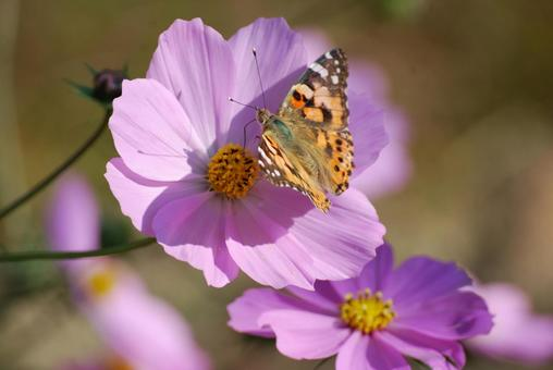 Cosmos and Butterflies