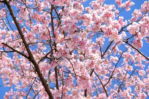 Cherry blossoms in Mizumoto Park 3